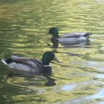 Good Weather For Ducks – losing the art of communications due to social media