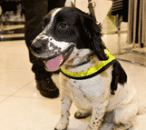 Sniffer security dog